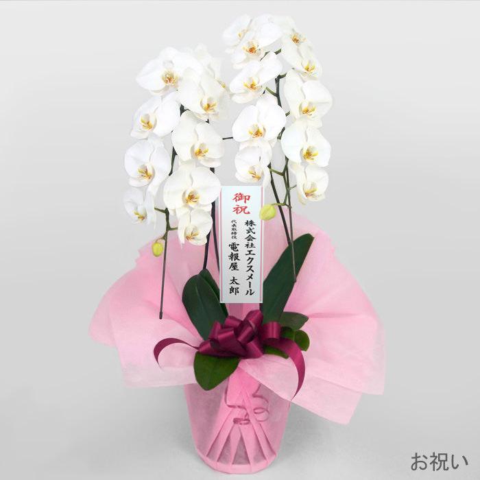 「特選胡蝶蘭 2本立 白」お祝い