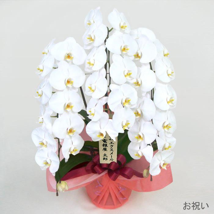 「特選胡蝶蘭 3本立 白」お祝い
