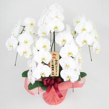 「胡蝶蘭 5本立 白」サムネイル