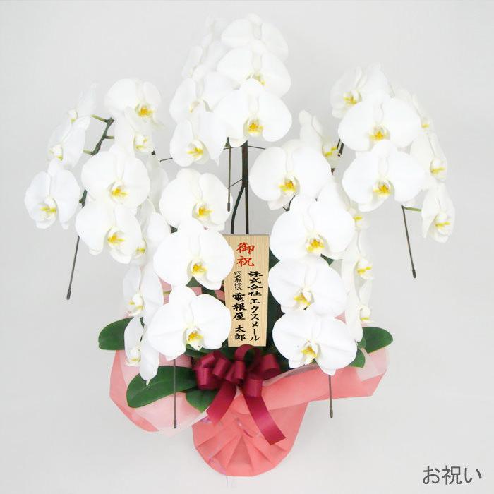 「胡蝶蘭 5本立 白」お祝い