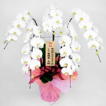 「特選胡蝶蘭 5本立 白」サムネイル