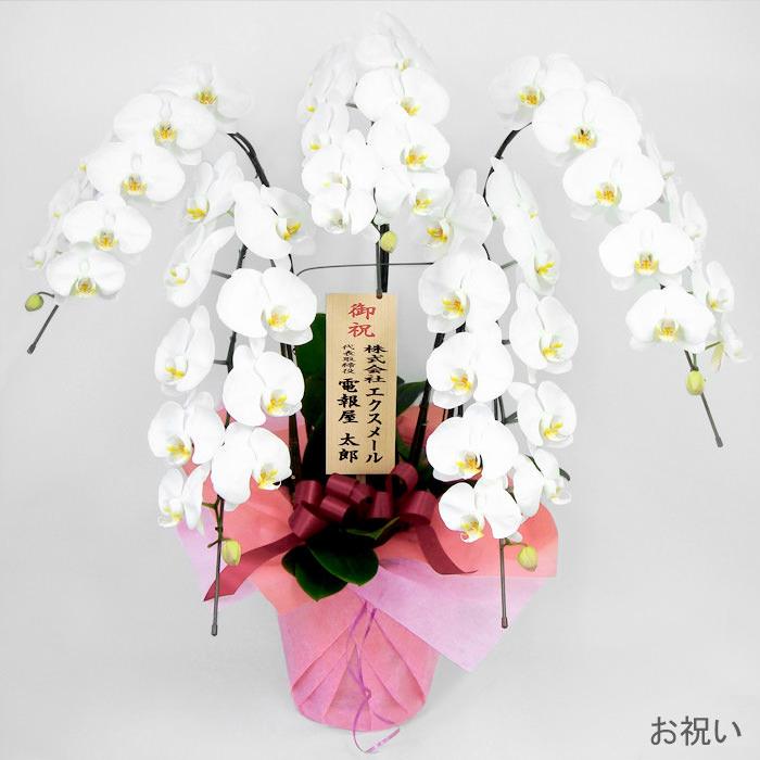 「特選胡蝶蘭 5本立 白」お祝い