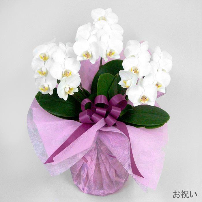 「ミディ胡蝶蘭 3本立 白」お祝い
