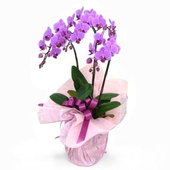 「ミディ胡蝶蘭 3本立 ピンク」サムネイル
