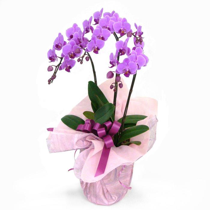 可憐でかわいらしいピンクのミディ胡蝶蘭
